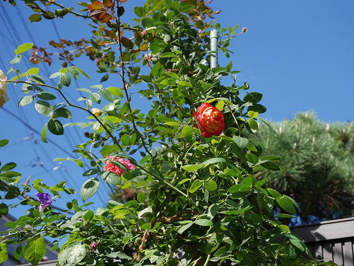 ソレイユロマンティカ(Soleil Romantica)の秋花が咲いた。ツルバラ。2020年-001.jpg