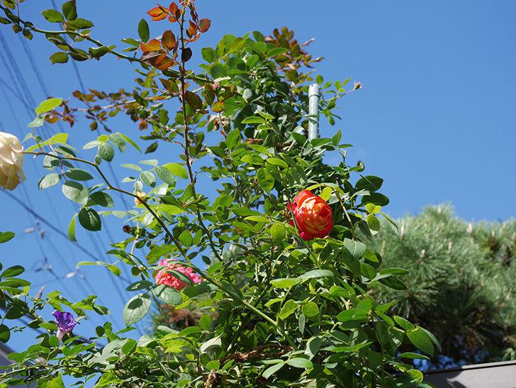 ソレイユロマンティカ(Soleil Romantica)の秋花が咲いた。ツルバラ。2020年-002.jpg