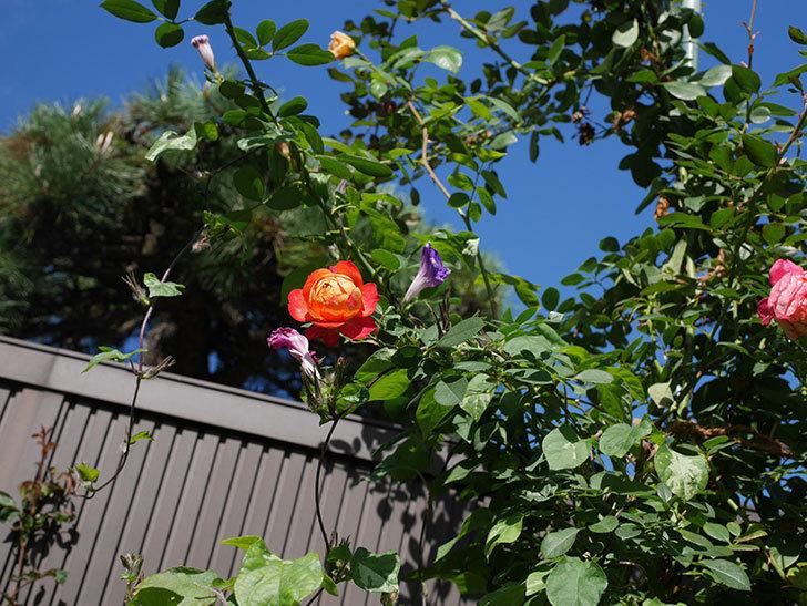 ソレイユロマンティカ(Soleil Romantica)の秋花が咲いた。ツルバラ。2020年-003.jpg