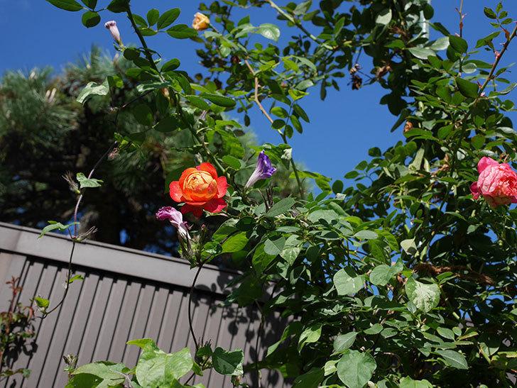 ソレイユロマンティカ(Soleil Romantica)の秋花が咲いた。ツルバラ。2020年-004.jpg
