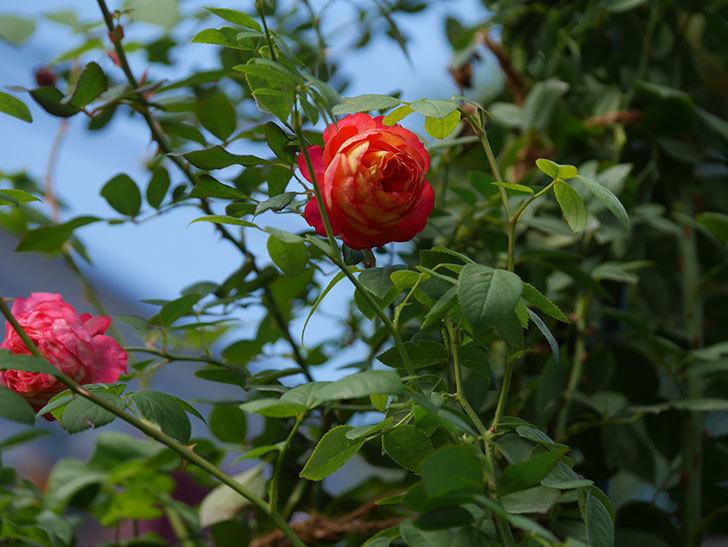 ソレイユロマンティカ(Soleil Romantica)の秋花が咲いた。ツルバラ。2020年-005.jpg