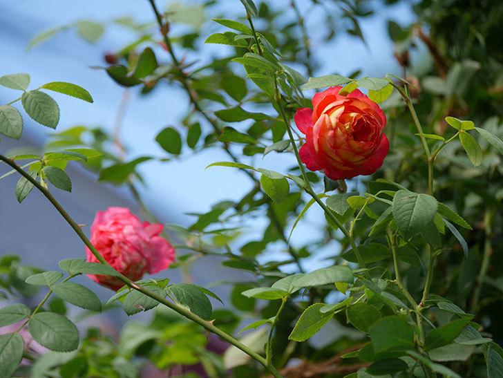 ソレイユロマンティカ(Soleil Romantica)の秋花が咲いた。ツルバラ。2020年-006.jpg