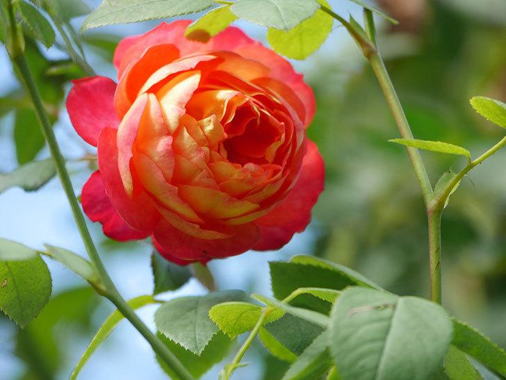 ソレイユロマンティカ(Soleil Romantica)の秋花が咲いた。ツルバラ。2020年-008.jpg