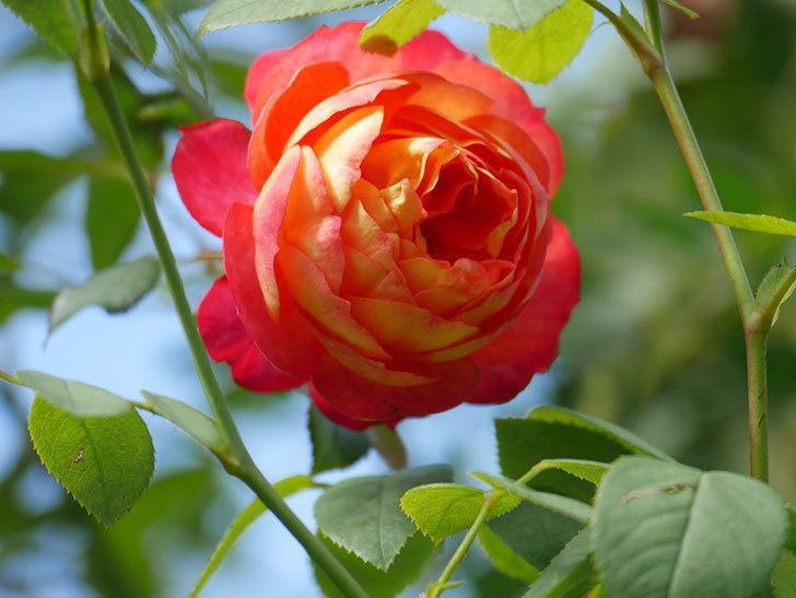 ソレイユロマンティカ(Soleil Romantica)の秋花が咲いた。ツルバラ。2020年-009.jpg