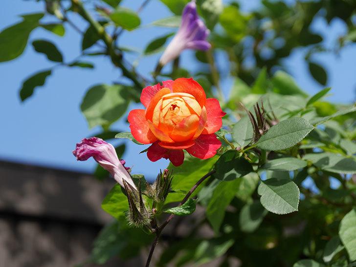 ソレイユロマンティカ(Soleil Romantica)の秋花が咲いた。ツルバラ。2020年-011.jpg