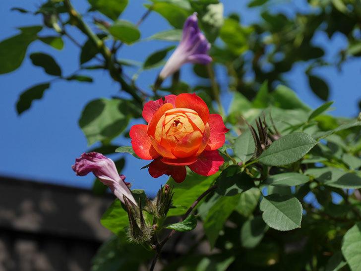 ソレイユロマンティカ(Soleil Romantica)の秋花が咲いた。ツルバラ。2020年-012.jpg