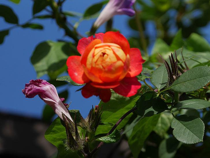 ソレイユロマンティカ(Soleil Romantica)の秋花が咲いた。ツルバラ。2020年-013.jpg
