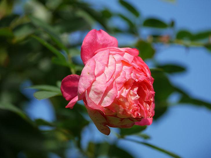 ソレイユロマンティカ(Soleil Romantica)の秋花が咲いた。ツルバラ。2020年-014.jpg