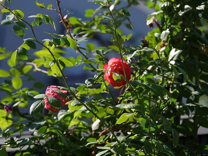 ソレイユロマンティカ(Soleil Romantica)の秋花が咲いた。ツルバラ。2020年-015.jpg