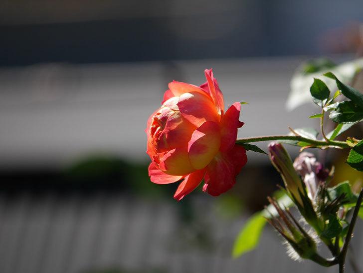 ソレイユロマンティカ(Soleil Romantica)の秋花が咲いた。ツルバラ。2020年-016.jpg