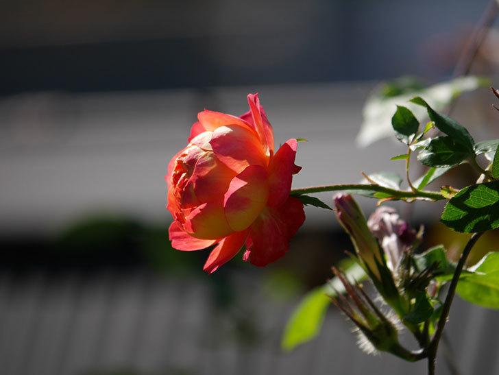 ソレイユロマンティカ(Soleil Romantica)の秋花が咲いた。ツルバラ。2020年-017.jpg