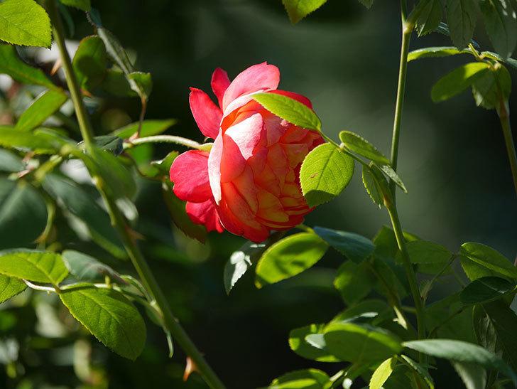 ソレイユロマンティカ(Soleil Romantica)の秋花が咲いた。ツルバラ。2020年-018.jpg