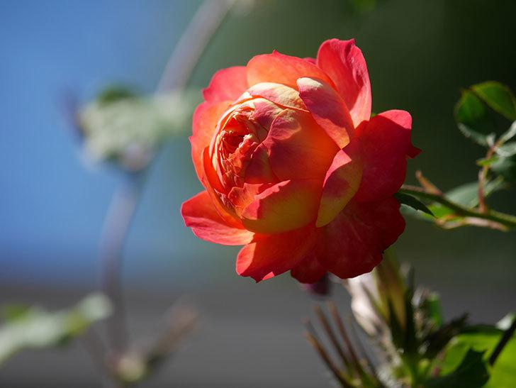 ソレイユロマンティカ(Soleil Romantica)の秋花が咲いた。ツルバラ。2020年-020.jpg