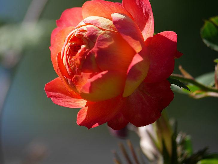 ソレイユロマンティカ(Soleil Romantica)の秋花が咲いた。ツルバラ。2020年-021.jpg