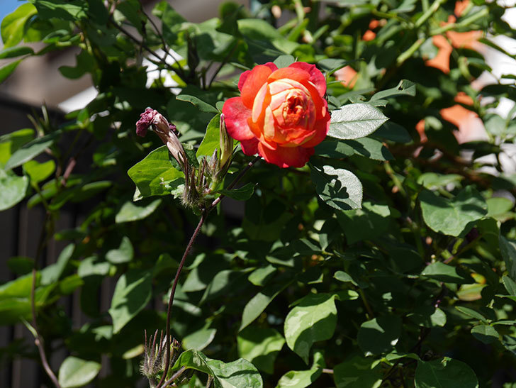 ソレイユロマンティカ(Soleil Romantica)の秋花が咲いた。ツルバラ。2020年-024.jpg