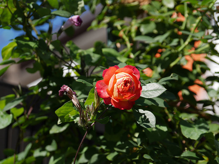 ソレイユロマンティカ(Soleil Romantica)の秋花が咲いた。ツルバラ。2020年-025.jpg