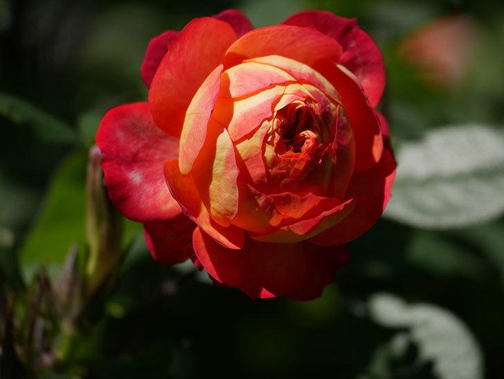 ソレイユロマンティカ(Soleil Romantica)の秋花が咲いた。ツルバラ。2020年-026.jpg