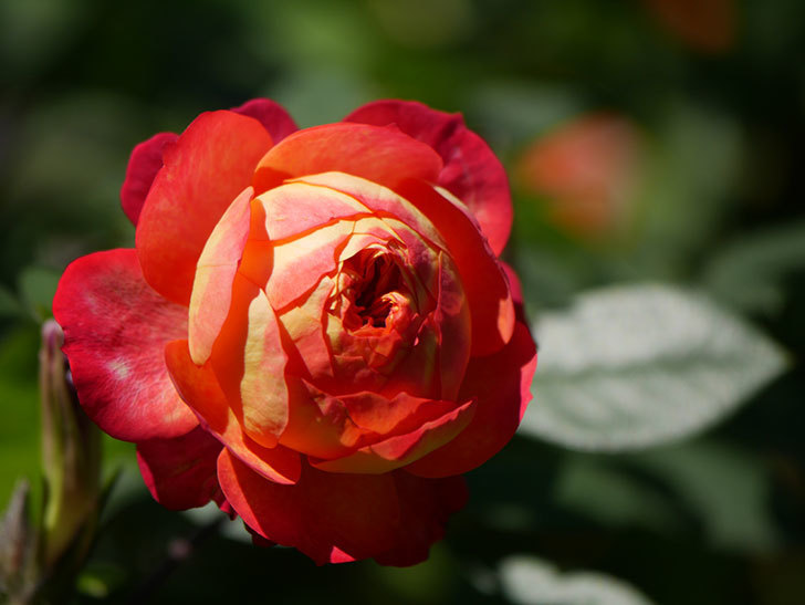 ソレイユロマンティカ(Soleil Romantica)の秋花が咲いた。ツルバラ。2020年-027.jpg