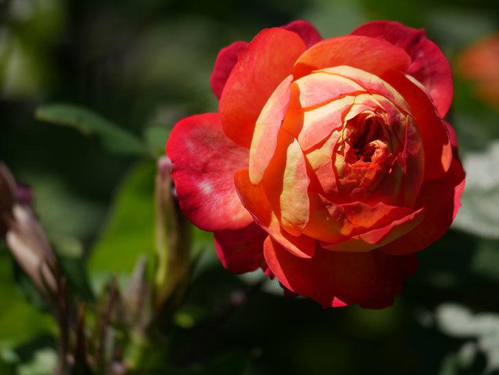 ソレイユロマンティカ(Soleil Romantica)の秋花が咲いた。ツルバラ。2020年-028.jpg