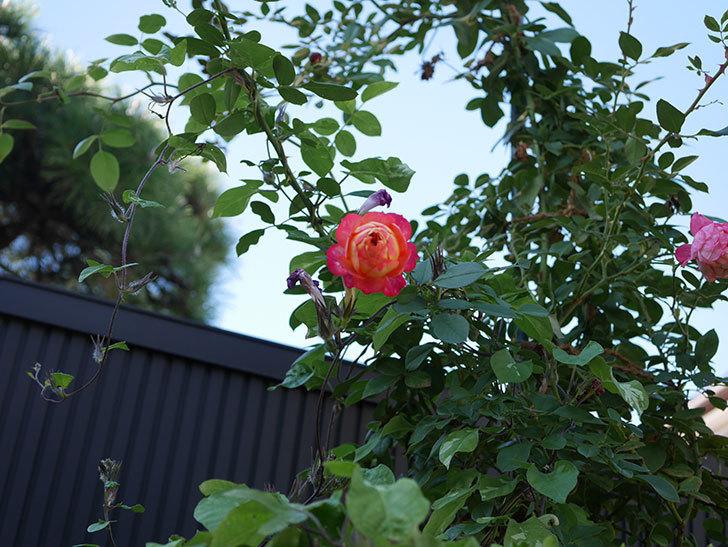 ソレイユロマンティカ(Soleil Romantica)の秋花が咲いた。ツルバラ。2020年-029.jpg