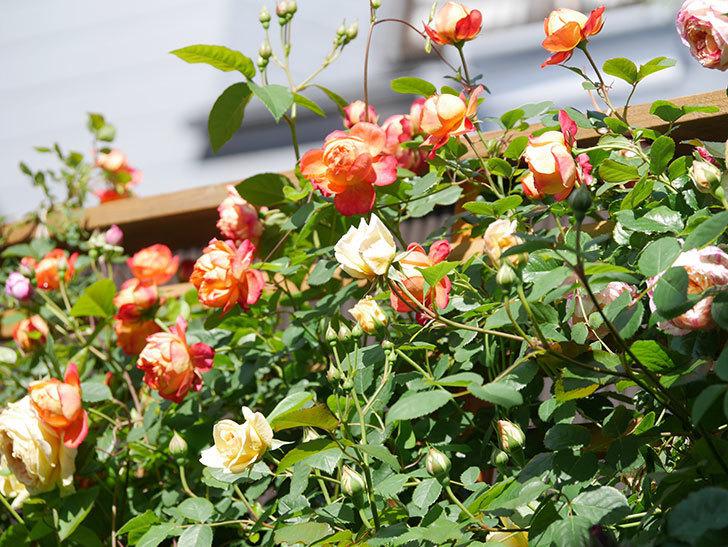 ソレイユロマンティカ(Soleil Romantica)の花がたくさん咲いた。ツルバラ。2021年-001.jpg