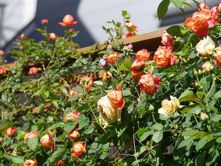 ソレイユロマンティカ(Soleil Romantica)の花がたくさん咲いた。ツルバラ。2021年-002.jpg
