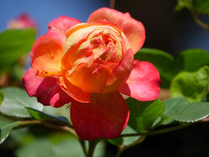 ソレイユロマンティカ(Soleil Romantica)の花がたくさん咲いた。ツルバラ。2021年-003.jpg