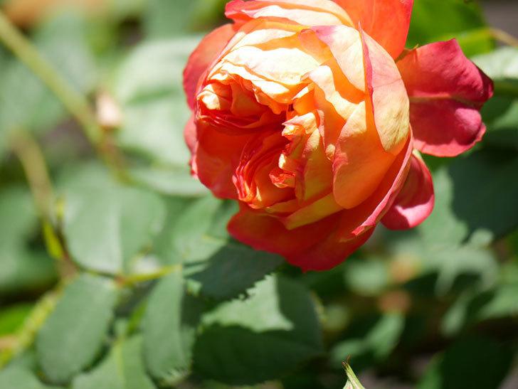 ソレイユロマンティカ(Soleil Romantica)の花がたくさん咲いた。ツルバラ。2021年-004.jpg