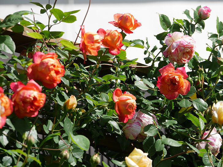 ソレイユロマンティカ(Soleil Romantica)の花がたくさん咲いた。ツルバラ。2021年-005.jpg