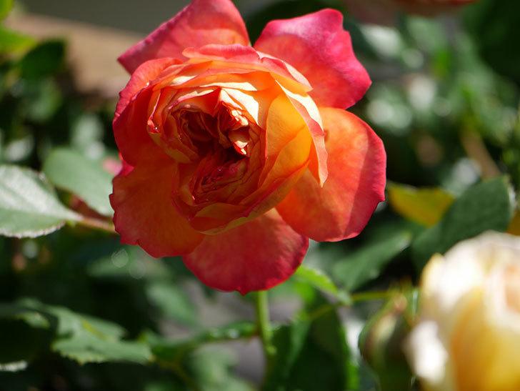 ソレイユロマンティカ(Soleil Romantica)の花がたくさん咲いた。ツルバラ。2021年-006.jpg