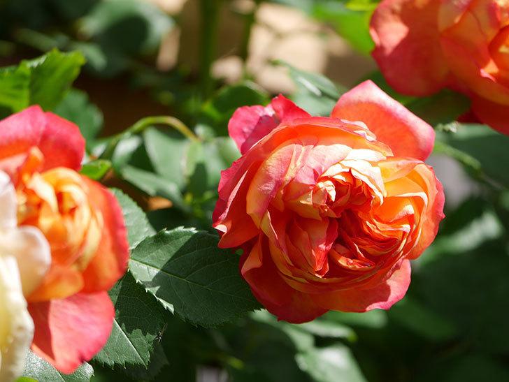 ソレイユロマンティカ(Soleil Romantica)の花がたくさん咲いた。ツルバラ。2021年-007.jpg