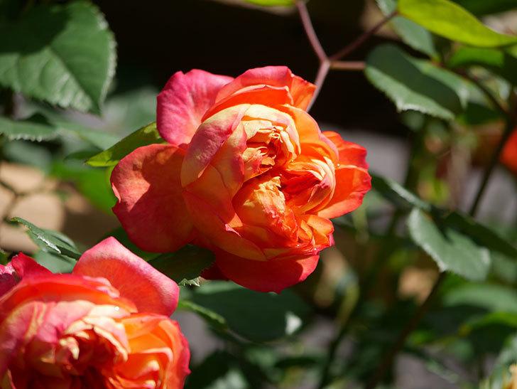 ソレイユロマンティカ(Soleil Romantica)の花がたくさん咲いた。ツルバラ。2021年-008.jpg