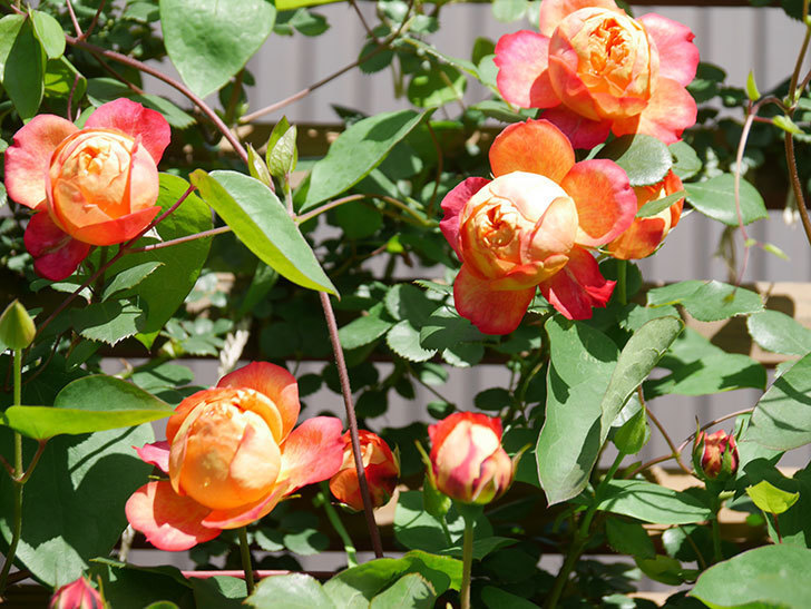 ソレイユロマンティカ(Soleil Romantica)の花がたくさん咲いた。ツルバラ。2021年-009.jpg