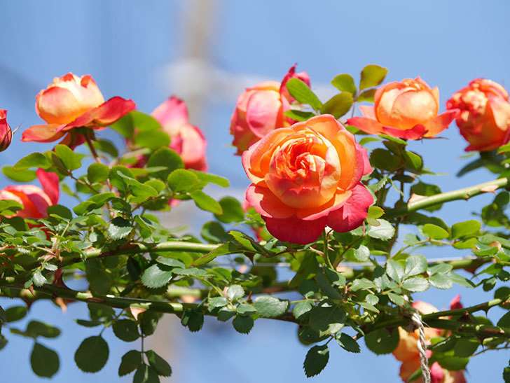 ソレイユロマンティカ(Soleil Romantica)の花がたくさん咲いた。ツルバラ。2021年-011.jpg