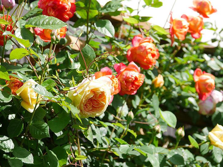 ソレイユロマンティカ(Soleil Romantica)の花がたくさん咲いた。ツルバラ。2021年-013.jpg