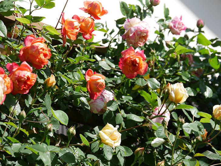 ソレイユロマンティカ(Soleil Romantica)の花がたくさん咲いた。ツルバラ。2021年-014.jpg