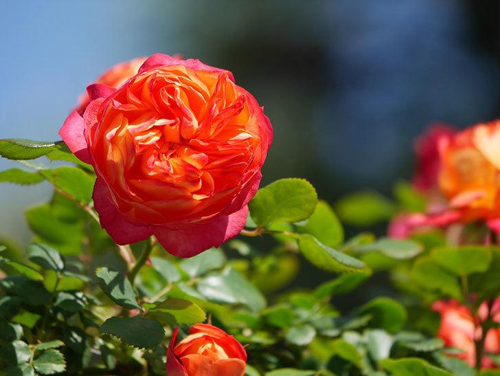 ソレイユロマンティカ(Soleil Romantica)の花がたくさん咲いた。ツルバラ。2021年-015.jpg