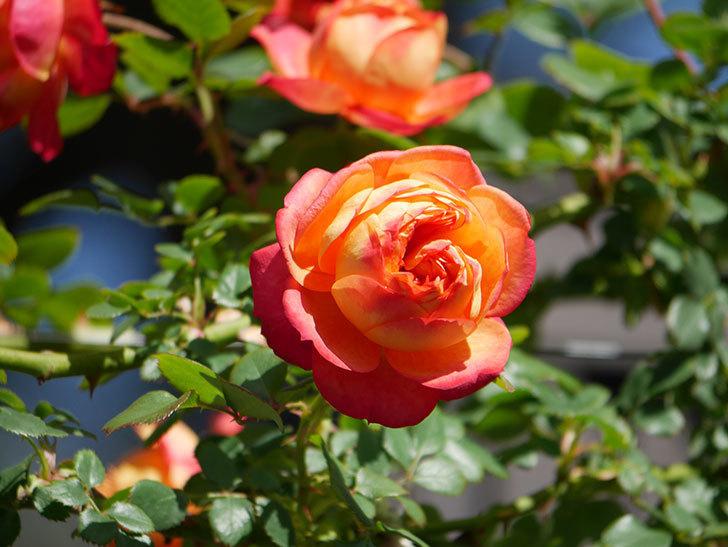 ソレイユロマンティカ(Soleil Romantica)の花がたくさん咲いた。ツルバラ。2021年-016.jpg
