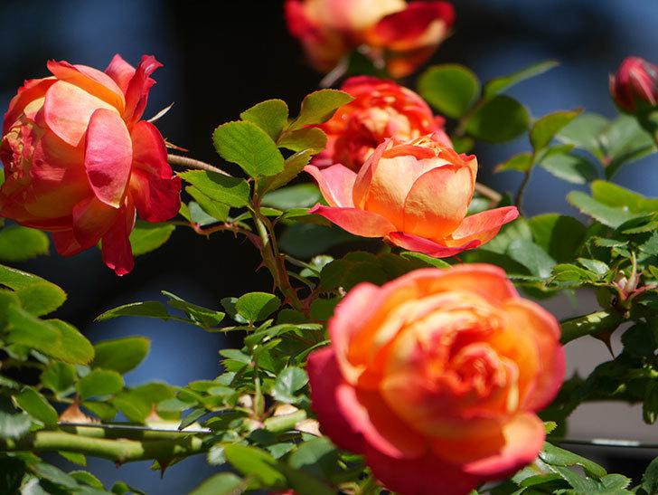 ソレイユロマンティカ(Soleil Romantica)の花がたくさん咲いた。ツルバラ。2021年-017.jpg
