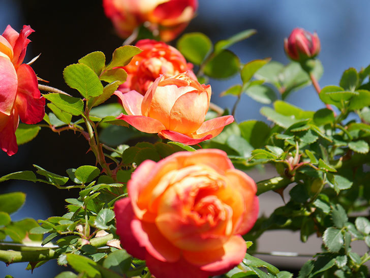 ソレイユロマンティカ(Soleil Romantica)の花がたくさん咲いた。ツルバラ。2021年-018.jpg