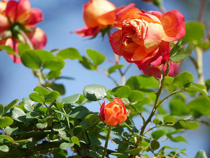 ソレイユロマンティカ(Soleil Romantica)の花がたくさん咲いた。ツルバラ。2021年-019.jpg