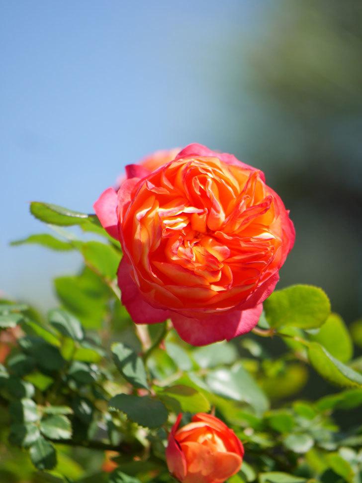 ソレイユロマンティカ(Soleil Romantica)の花がたくさん咲いた。ツルバラ。2021年-020.jpg