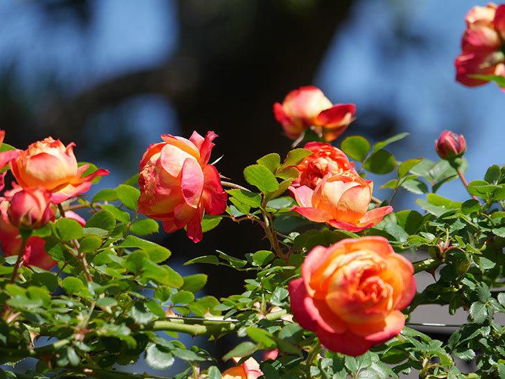 ソレイユロマンティカ(Soleil Romantica)の花がたくさん咲いた。ツルバラ。2021年-021.jpg