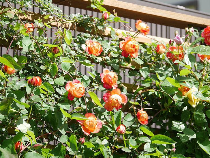 ソレイユロマンティカ(Soleil Romantica)の花がたくさん咲いた。ツルバラ。2021年-022.jpg