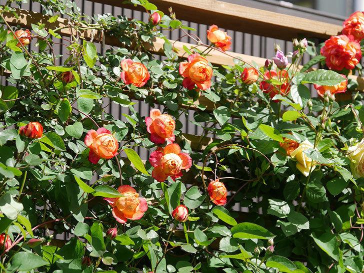 ソレイユロマンティカ(Soleil Romantica)の花がたくさん咲いた。ツルバラ。2021年-023.jpg