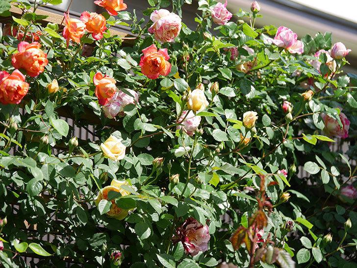 ソレイユロマンティカ(Soleil Romantica)の花がたくさん咲いた。ツルバラ。2021年-024.jpg