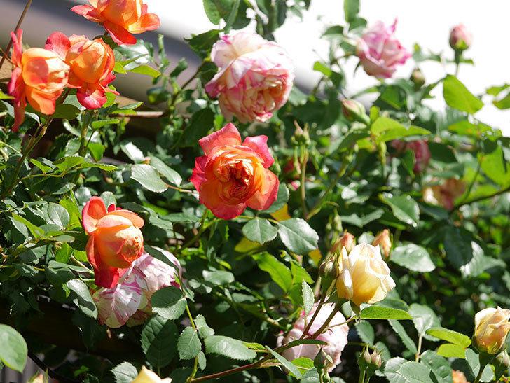 ソレイユロマンティカ(Soleil Romantica)の花がたくさん咲いた。ツルバラ。2021年-025.jpg