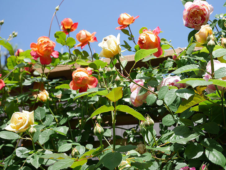 ソレイユロマンティカ(Soleil Romantica)の花がたくさん咲いた。ツルバラ。2021年-026.jpg
