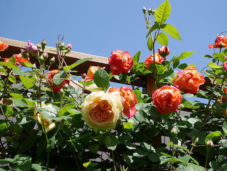 ソレイユロマンティカ(Soleil Romantica)の花がたくさん咲いた。ツルバラ。2021年-027.jpg