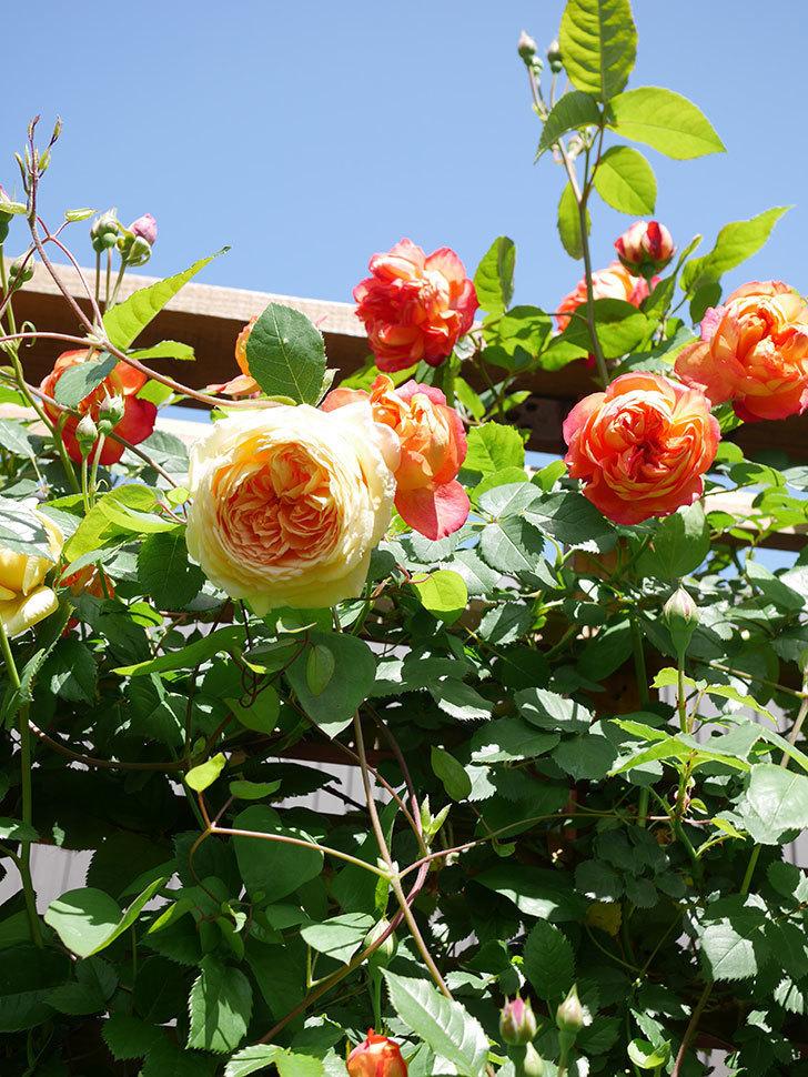 ソレイユロマンティカ(Soleil Romantica)の花がたくさん咲いた。ツルバラ。2021年-028.jpg